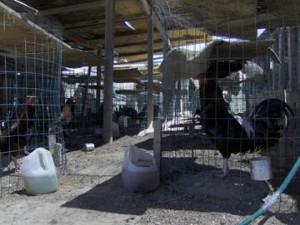 About 100 fighting roosters were in individual pens, officials said. (Courtesy LASD)